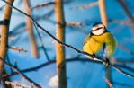 blue Tit3 by PictureByPali