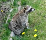 Racoon with Dandelion Friends by FantasyStock