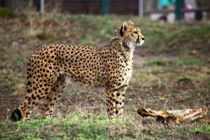 Cheetah V by Vanell-Photography
