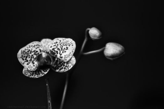 The supposed dying orchid by redcharcoal
