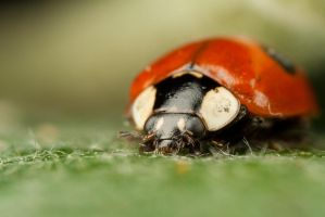 Ladybird 2 by Alliec