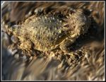 Horned Toad by kayladewi