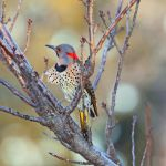 Flicker at Dawn by clippercarrillo