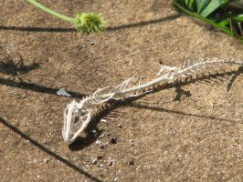 Lizard skeleton 1 by Polly-Stock