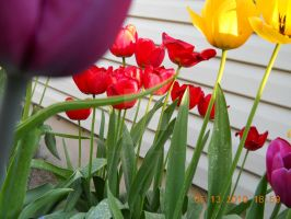 Fez Red Tulips by Biggerontheinside10