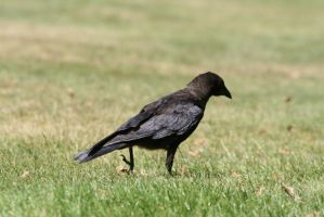 Crow by tsb-stock