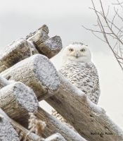 Snowy Owl by Les-Piccolo