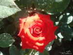 RED ROSE_unedited by CrazyNalin