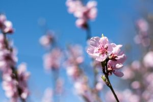 Peach blossom by IgorKlajo