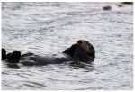 Sea Otter by bensinn