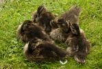 huddle of ducklings by sandyprints