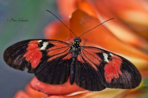 Delicate wings. by Phototubby