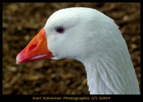 Domestic Goose 1 by KSPhotographic