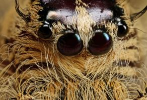 jumping spider eyes 2 by macrojunkie