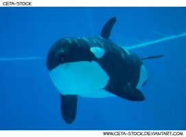 Orca Underwater 6 by Ceta-Stock