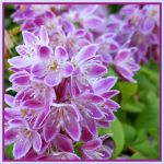 Deutzia by bandsix