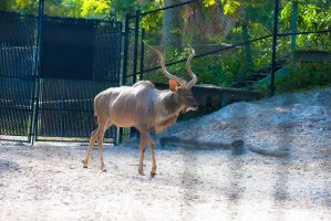 Greater Kudu by Deirdre-T