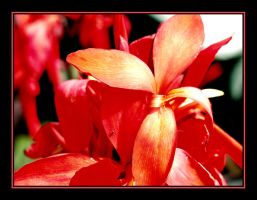 Red Flower 5 by Curim