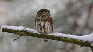 Eurasian Pygmy Owl on guard by Qppa
