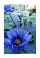 Blue lily by ArtistUnknown