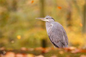 Blue Heron in Autumn Colours II by thrumyeye