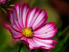 Pink Edged Flower by Michies-Photographyy