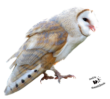 Cut-out stock PNG 108 - Sweet barn owl by Momotte2stocks