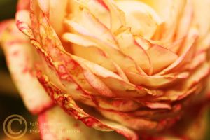 Flower 3 by crystalcleargfx
