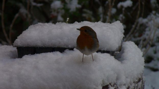 Red Robin in the White Snow by Only-truth