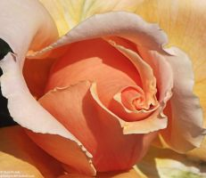 Orange Rose III by Gatesigirl