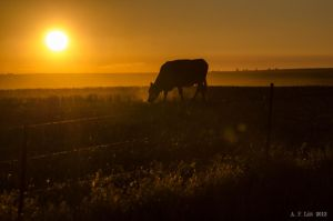 Cow At Sunrise by AFL