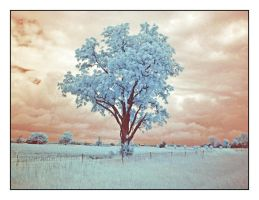 Tree, infrared, wide.P1010815, with story by harrietsfriend
