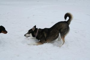 Siberian Husky Stock 019 by EssenceOfPerception