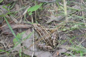 Spotted Frog by TheDaysOfDarkness