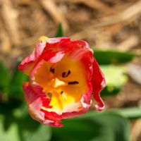 Red And Yellow Tulip IV by LDFranklin