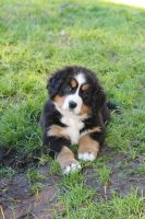 Bernese Mountain Dog II by yeahBISH