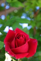 A rose is a rose is a... by VileYonderboy