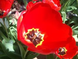 Red Tulip by MusicIsMyLifeForever