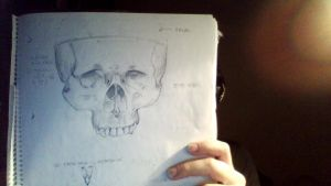 Skull sketch 1 by ladyAristes