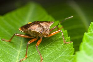 Shield Bug by snomanda