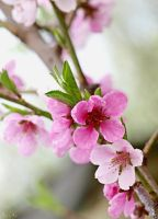 101 - Peach blossom again... by AnnaMagdalenaPe