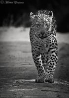African Assassin Approaching by MorkelErasmus