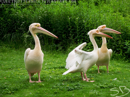 White Pelicans by SweetButtermilk