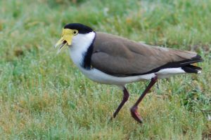 Spur winged plover 02 by 88-Lawstock