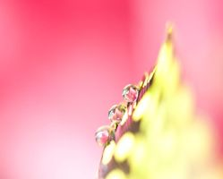 Soft pink by pqphotography