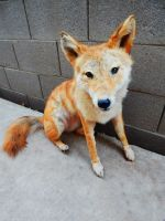 Poseable Red Coyote Softmount (For Sale) by KaypeaCreations