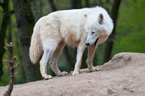 Shy Arctic Wolf by amrodel
