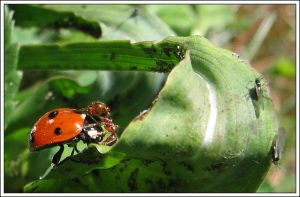 ladybird and hot-tempered  ant by jamesboy