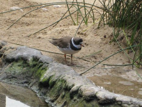 Semipalmated Plover by DawnHunter