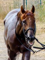 Everyday Stock - Bathing a Chestnut Thoroughbred by LuDa-Stock